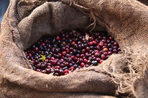 coffee-cherries